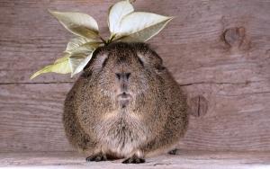 guinea-pig-629784_640-300x188