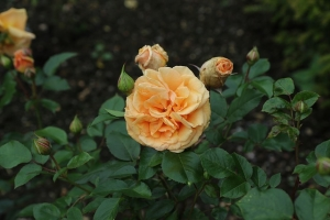 rose-1575215_640-300x200